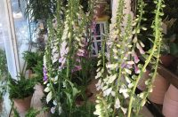 All the foxgloves.