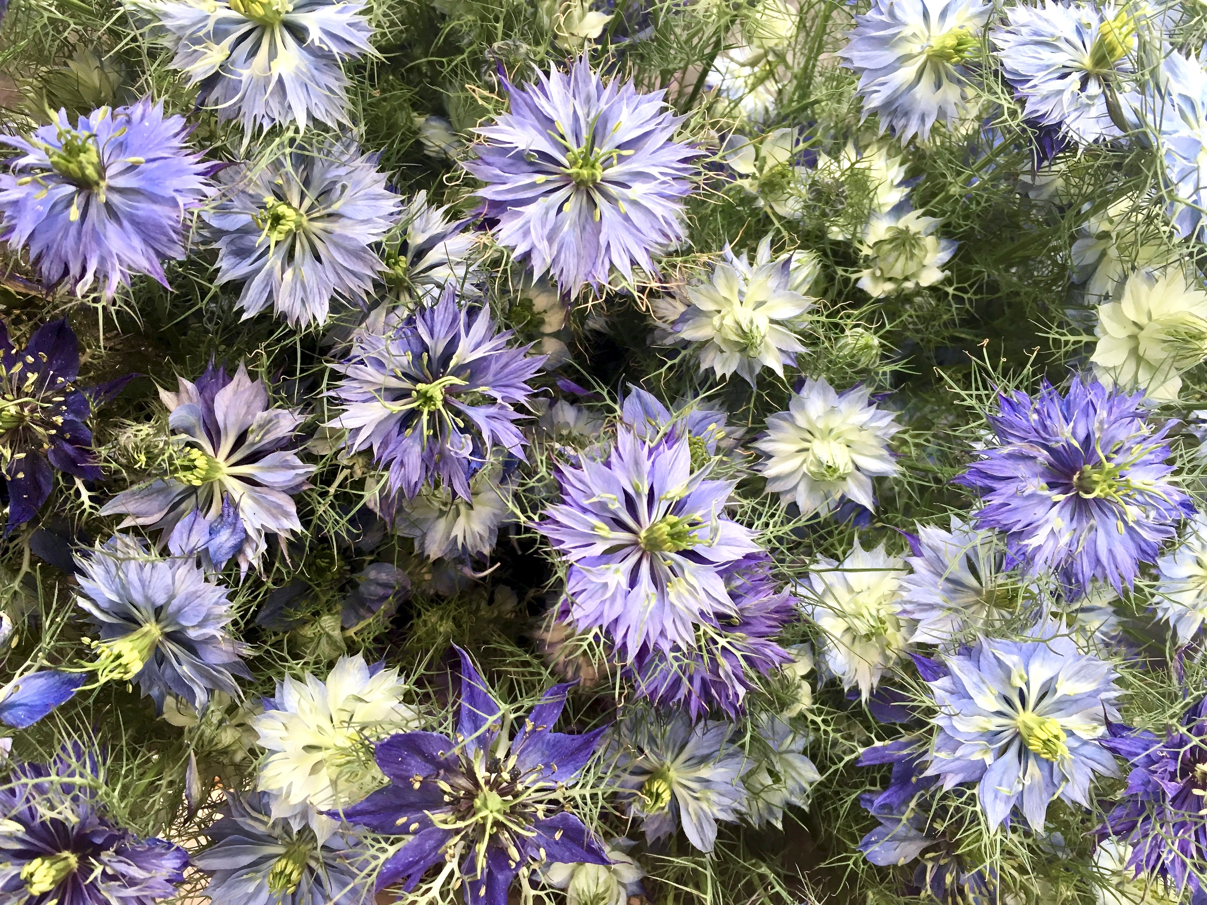 Love-in-a-mist.